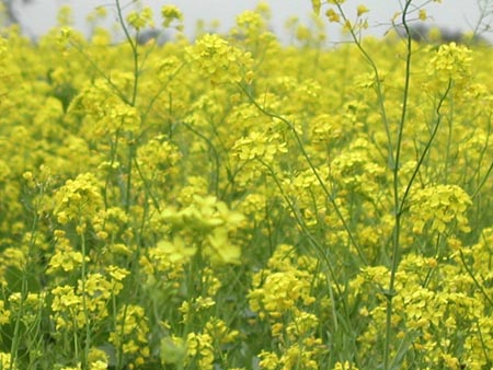 Some mustard plants grow more than six feet tall.